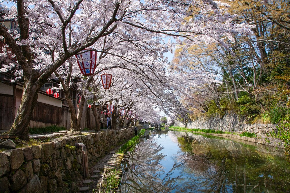 Beautiful cherry blossom display in Omihachiman